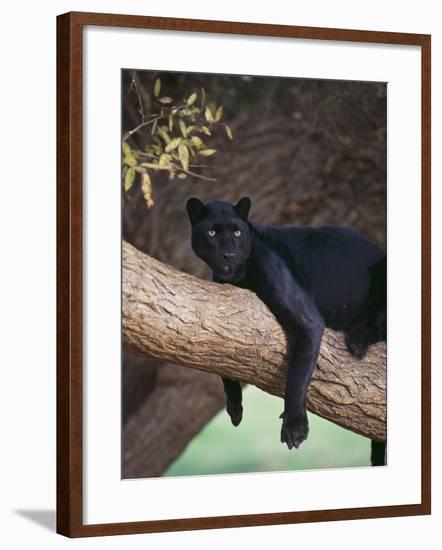Black Panther Sitting on Tree Branch-DLILLC-Framed Photographic Print