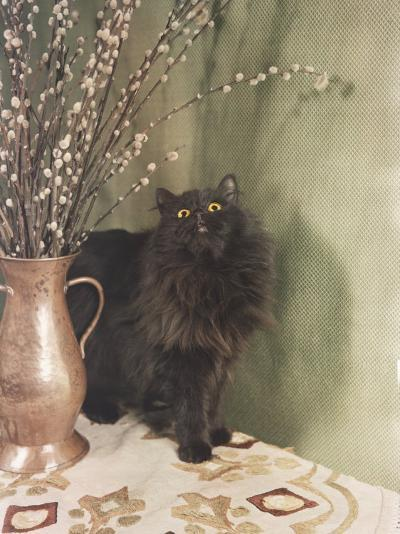 Black Persian Cat Stares Intently at a Vase of Pussy Willows-Willard Culver-Photographic Print