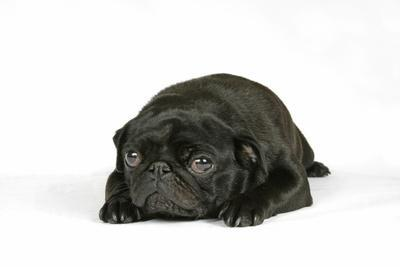 Black Pug Puppy (6 Weeks Old) Lying Down--Photographic Print