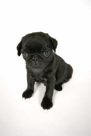 Black Pug Puppy (6 Weeks Old)--Photographic Print