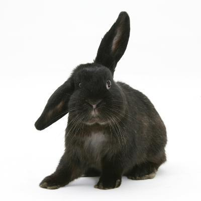 Black Rabbit with Windmill Ears-Mark Taylor-Photographic Print