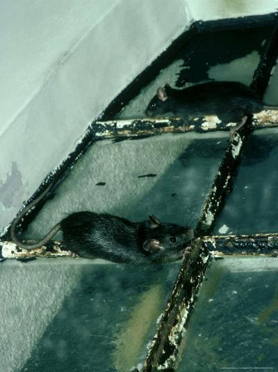 Black Rat, Rattus Rattus-Liz Bomford-Photographic Print
