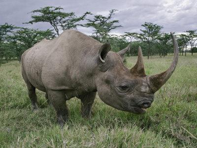 https://imgc.artprintimages.com/img/print/black-rhinoceros-kenya_u-l-p85xob0.jpg?p=0