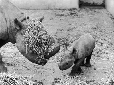 Black Rhinoceros with Straw on Her Face Playing with Her Baby Rhino!--Photographic Print