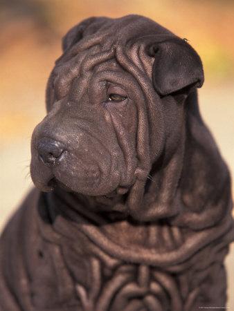 https://imgc.artprintimages.com/img/print/black-shar-pei-puppy-portrait-showing-wrinkles-on-the-face-and-chest_u-l-q10nzu10.jpg?p=0