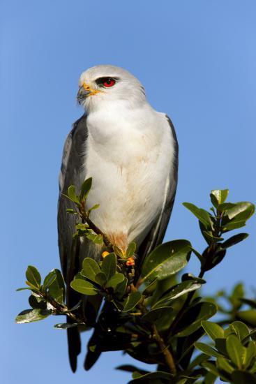 Black-Shouldered Kite - Elanus Caeruleus-Johan Swanepoel-Photographic Print