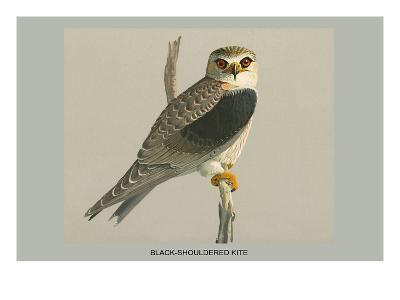 Black Shouldered Kite-Louis Agassiz Fuertes-Art Print