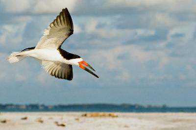 Black Skimmer Bird Flying Close to Photographer on Beach in Florida-James White-Photographic Print