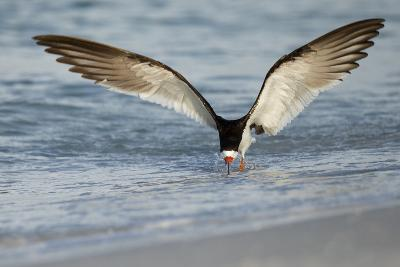Black Skimmer Coming in for a Landing, Gulf of Mexico, Florida-Maresa Pryor-Photographic Print