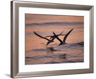 Black Skimmer, Fort Meyers, Florida, USA-Rolf Nussbaumer-Framed Photographic Print