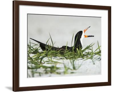 Black Skimmer on Nest Being Alert to Mates Arrival, Gulf of Mexico, Florida-Maresa Pryor-Framed Photographic Print