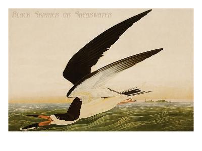 Black Skimmer or Shearwater-John James Audubon-Art Print