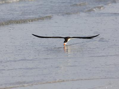 Black Skimmer (Rynchops Niger) Foraging for Fish by Skimming the Water's Surface-John Cornell-Photographic Print