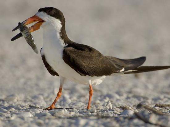 Black Skimmer, Rynchops Niger, with Fish Prey in its Bill, Southern USA-John Cornell-Photographic Print