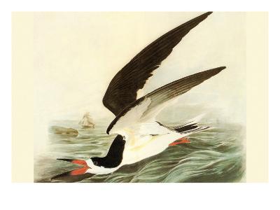 Black Skimmer-John James Audubon-Art Print