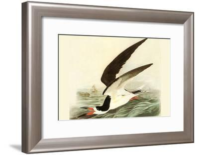 Black Skimmer-John James Audubon-Framed Art Print