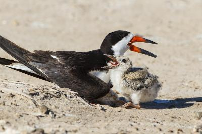 Black Skimmers at Nesting Colony-Larry Ditto-Photographic Print