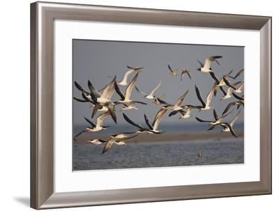 Black Skimmers, Bird on the Laguna Madre, Texas, USA-Larry Ditto-Framed Photographic Print
