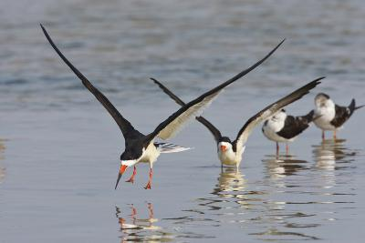 Black Skimmers, Bird on the Laguna Madre, Texas, USA-Larry Ditto-Photographic Print