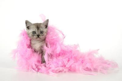 Black Smoke Kitten (8 Weeks) with Pink--Photographic Print