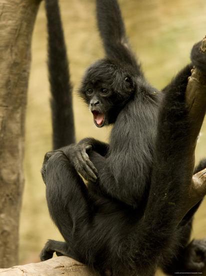 Black Spider Monkeys at the Omaha Zoo, Nebraska-Joel Sartore-Photographic Print