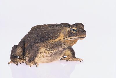 https://imgc.artprintimages.com/img/print/black-spined-toad_u-l-pzr7dp0.jpg?p=0