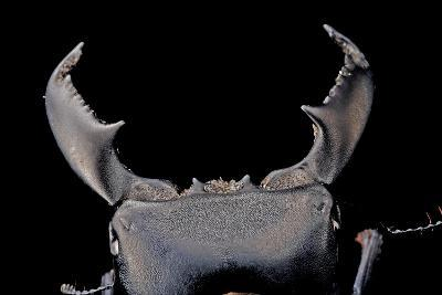Black Stag Beetle, Dorcus Titanus, at the Audubon Butterfly Garden and Insectarium-Joel Sartore-Photographic Print