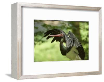 Black stork, Ciconia nigra, close-up, the Bavarian Forest-David & Micha Sheldon-Framed Photographic Print
