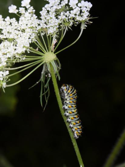 Black Swallowtail Butterfly Caterpillar on Queen Anne's Lace-George Grall-Photographic Print