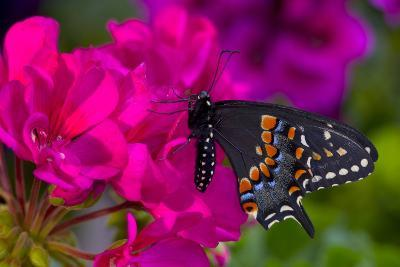 Black Swallowtail Butterfly-Darrell Gulin-Photographic Print