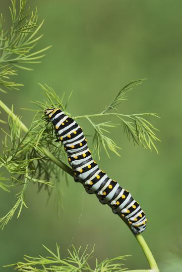 Black Swallowtail caterpillar eating on fennel, Hill Country, Texas, USA-Rolf Nussbaumer-Premium Photographic Print