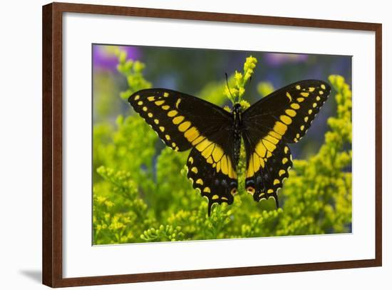 Black Swallowtail Male from Costa Rica, Papilio Polyxenes-Darrell Gulin-Framed Photographic Print