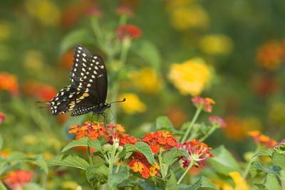 https://imgc.artprintimages.com/img/print/black-swallowtail-male-on-red-spread-lantana-marion-co-il_u-l-prqhmg0.jpg?p=0