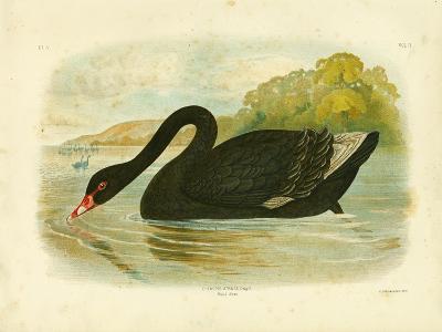 Black Swan, 1891-Gracius Broinowski-Giclee Print
