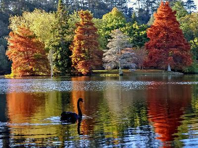 Black Swan in Autumn-Steve Clancy Photography-Photographic Print