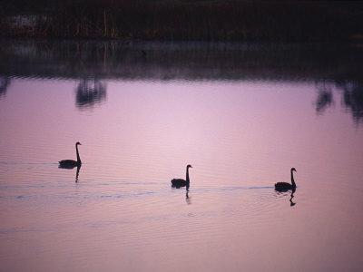 https://imgc.artprintimages.com/img/print/black-swans-glide-across-a-misty-still-wetland-surface-before-dawn_u-l-p6fr1p0.jpg?p=0