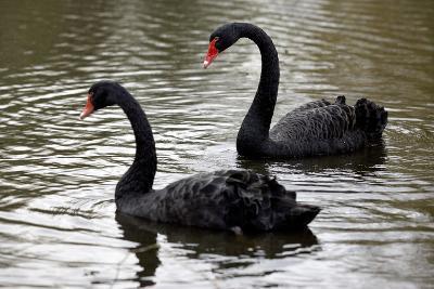 Black Swans-Denise Swanson-Photographic Print