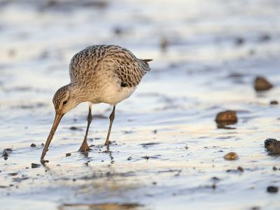Black Tailed Godwit Feeding in Mud on Tidal Channel, Norfolk, UK, December-Gary Smith-Photographic Print