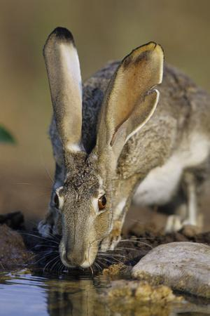 Black-Tailed Jack Rabbit Drinking at Water Starr County, Texas-Richard and Susan Day-Photographic Print