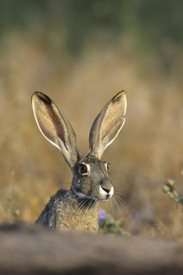 Black-Tailed Jack Rabbit Starr County, Texas-Richard and Susan Day-Photographic Print