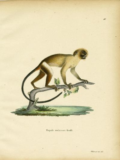 Black-Tailed Marmoset--Giclee Print