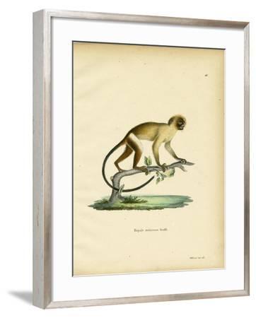 Black-Tailed Marmoset--Framed Giclee Print