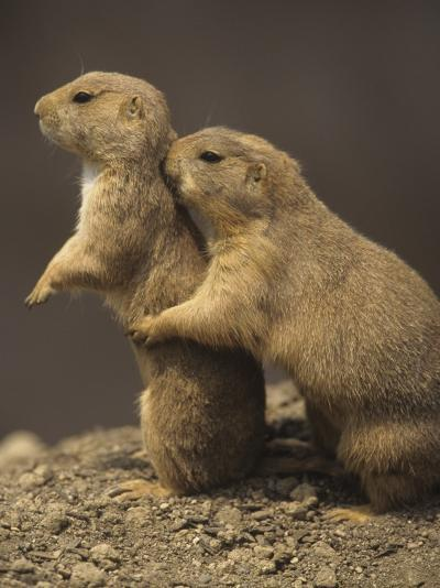 Black-Tailed Prairie Dogs, Cynomys Ludovicianus, Western North America-Adam Jones-Photographic Print