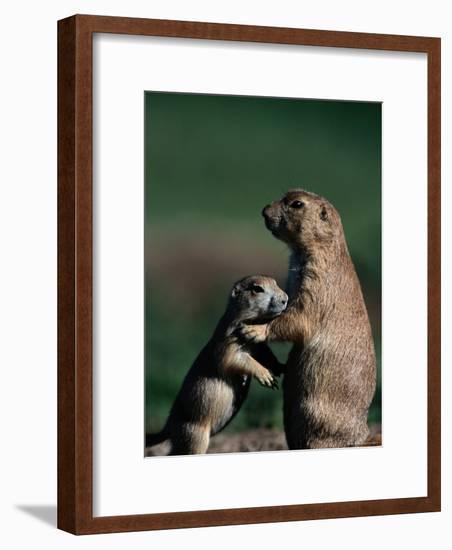 Black-Tailed Prairie Dogs (Cynomys Ludovicianus)-Raymond Gehman-Framed Photographic Print