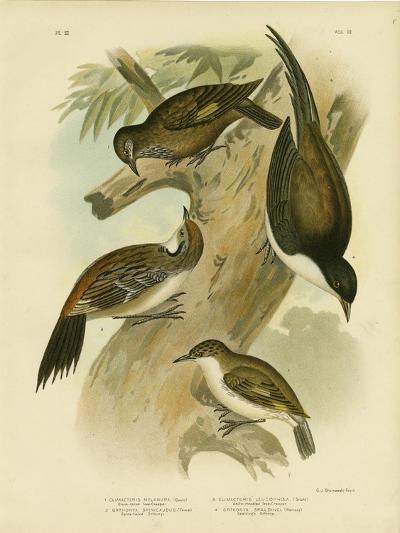 Black-Tailed Treecreeper, 1891-Gracius Broinowski-Giclee Print