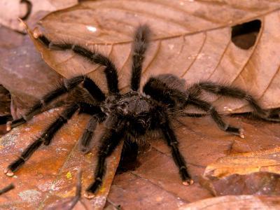 Black Tarantulas, Amazon Rainforest, Peru-Gavriel Jecan-Photographic Print