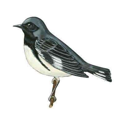 Black-Throated Blue Warbler (Dendroica Caerulescens), Birds-Encyclopaedia Britannica-Art Print