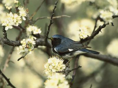 Black-Throated Blue Warbler (Dendroica Caerulescens) in Beach Plum Tree, Long Island, New York-Tom Vezo/Minden Pictures-Photographic Print