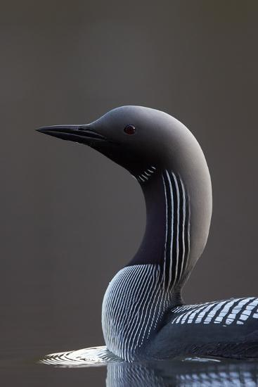 Black-Throated Diver (Gavia Arctica) On Water, Finland, May-Markus Varesvuo-Photographic Print