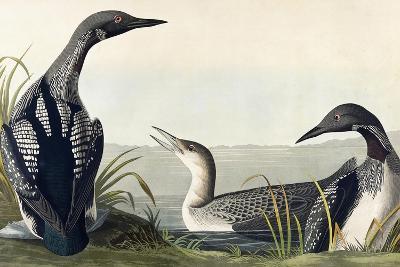 Black-Throated Diver-John James Audubon-Giclee Print
